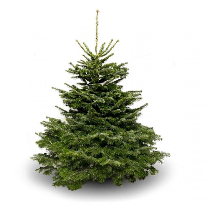10ft Luxury Nordmann Fir